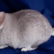 Кролик шиншилловый бежевый фото