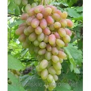 Саженци столового винограда сорт Юбилей Новочеркасска фото