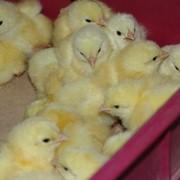 Цыплята суточные бройлеров КРОСС КОББ 500. фото