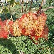 Черенки винограда ранне-средних сортов, черенки винограда Водограй, саженцы винограда фото