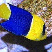 Рыба Ангел Биколор Centropyge bicolor фото