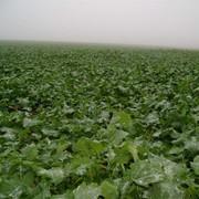 Рапс - семена, гибрид. Энигма, Астон 899 (высокоурожайные озимые сорта) фото