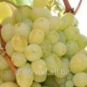 Виноград Victoria фото