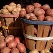 Продам картофель. фото
