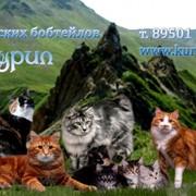 Очаровательные и социализированные котята Курильского бобтейла от высокопородных кото-родителей фото
