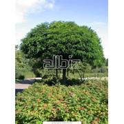 Посадка декоративных деревьев фото