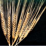 Семена ярого ячменя Эней Одесской слекции фото