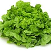 Салат-латук фото