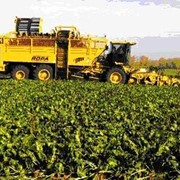 Производство сахарного песка. фото