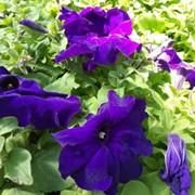 Семена петунии Фиолетовая фото
