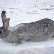 Разведение кроликов породы серый великан фото