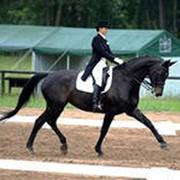 Скаковые лошади фото