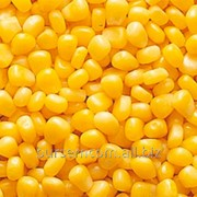 Свежея зерно кукурузы фото