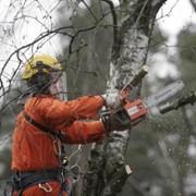 Спил аварийных деревьев фото