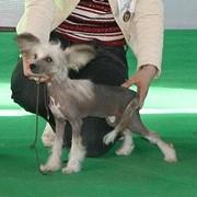 Китайской хохлатой собачки голая девочка, для выставок,разведения и для души. фото