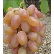 Саженцы винограда Преображение фото