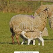 Кожа овечья фото