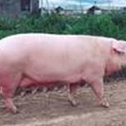 Свинина фото