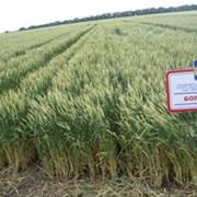 Семена пшеницы суперэлиту, элиту, 1-ю репродукцию