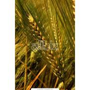 Пшеница. Пшеница семейства злаки. Зерновые, бобовые и крупяные культуры фото