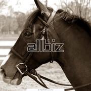 Лошади упряжные фото