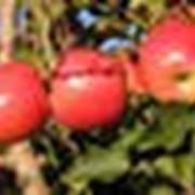 Саженцы яблони+79787849708 фото