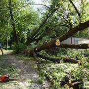 Удаление, Обрезка деревьев. фото