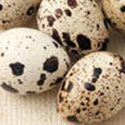 Яйца перепелиные пищевые фотография