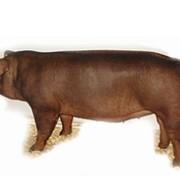 Свинии породы ДЮРОК фото