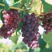 Саженцы винограда ДСП фото