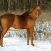 Калмыцкая порода лошадей фото