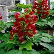 Гортензия дуболистная 'Аметист' (Hydrangea quercifolia 'Amethyst') фото