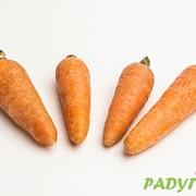 Морковь сорта Роял Шансон фото