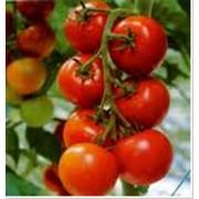 Выращивание помидор фото