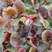 Сеянцы Бегония вечноцветущая (кр) фото