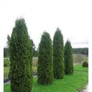 Туя Колумна (Thuja occidentalis Columna), висота до 1,5м фото