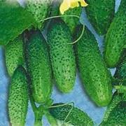 Семена огурца корнишон фото