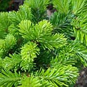Эфирное масло пихты сибирской (Abies sibirica) фото
