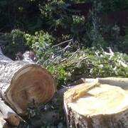 Спил деревьев, удаление деревьев, удаление крон деревьев. фото
