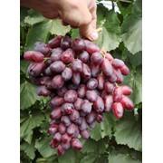 Саженцы винограда Ризомат фото