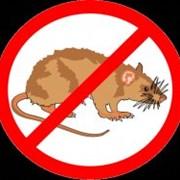 Крысиная смерть фото