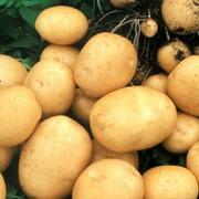 Картофель Вятка фото