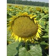 Семена подсолнечника Лакомка фото