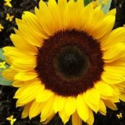 Переборка семян подсолнечника фото