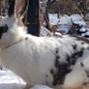 Кролики племенные фото