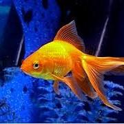 Золотые рыбки, купить в Молдове фото