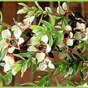 Цветочная вода чайного дерева, стандартизированная фото