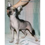Китайской хохлатой собачки голая девочка, черного окраса для шоу и разведения. фото