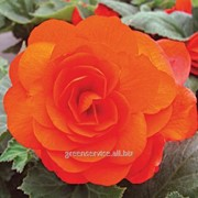 Бегония Double Orange 5/6 (954) фото