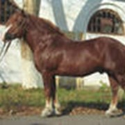 Лошади русской тяжеловозной породы фото